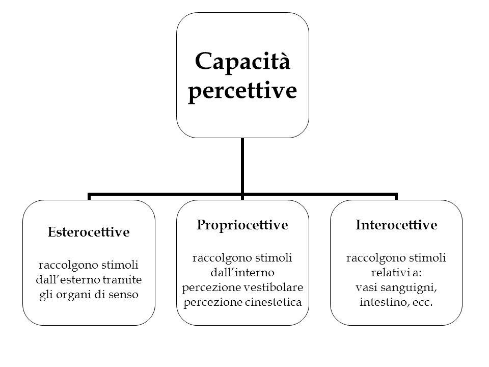 Capacità percettive Esterocettive raccolgono stimoli dall'esterno tramite gli organi di senso Propriocettive raccolgono stimoli dall'interno percezion