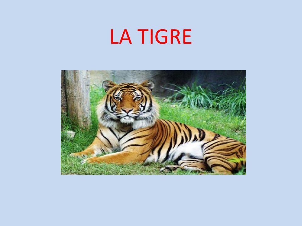 Caratteristiche La Tigre è un mammifero della famiglia dei felini.