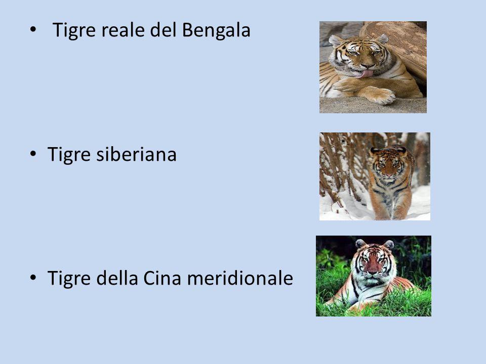 Tigre reale del Bengala Tigre siberiana Tigre della Cina meridionale
