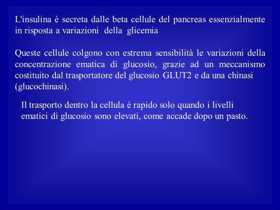 L'insulina è secreta dalle beta cellule del pancreas essenzialmente in risposta a variazioni della glicemia Queste cellule colgono con estrema sensibi