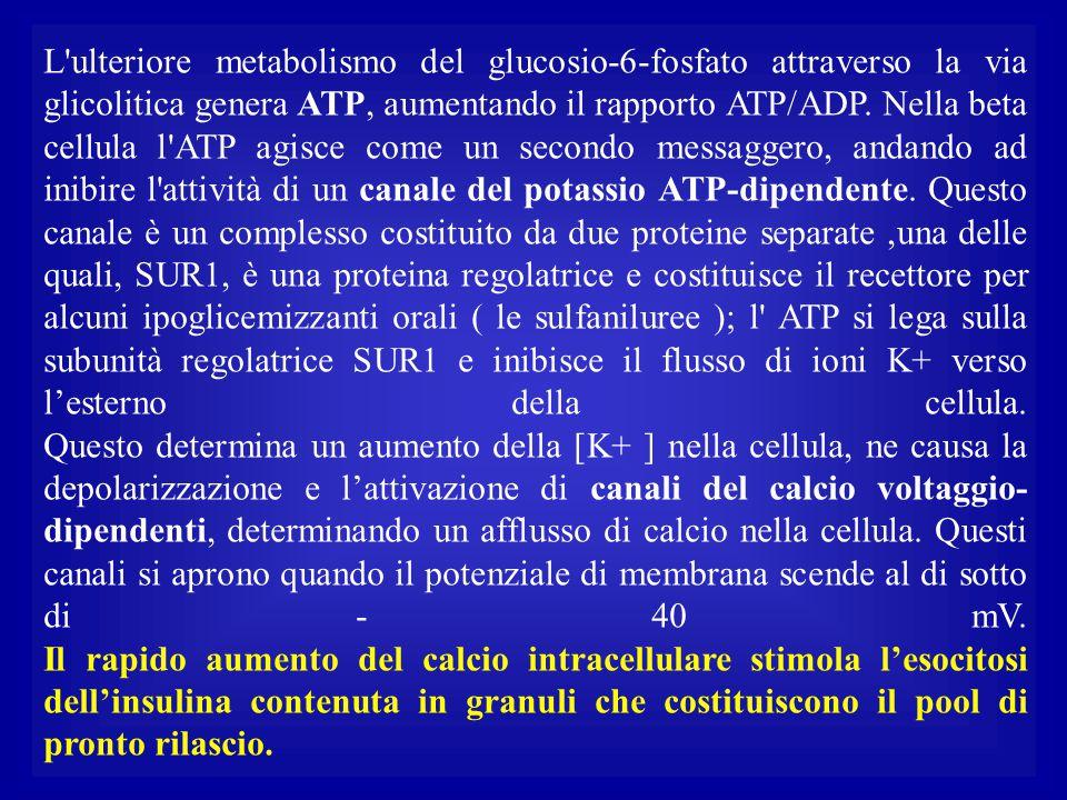 L'ulteriore metabolismo del glucosio-6-fosfato attraverso la via glicolitica genera ATP, aumentando il rapporto ATP/ADP. Nella beta cellula l'ATP agis