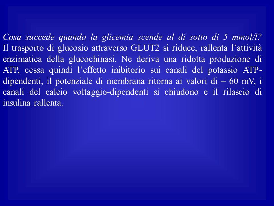 Cosa succede quando la glicemia scende al di sotto di 5 mmol/l? Il trasporto di glucosio attraverso GLUT2 si riduce, rallenta l'attività enzimatica de