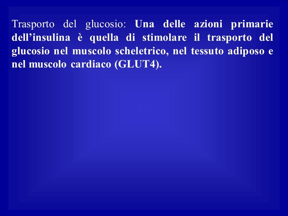 Trasporto del glucosio: Una delle azioni primarie dell'insulina è quella di stimolare il trasporto del glucosio nel muscolo scheletrico, nel tessuto a