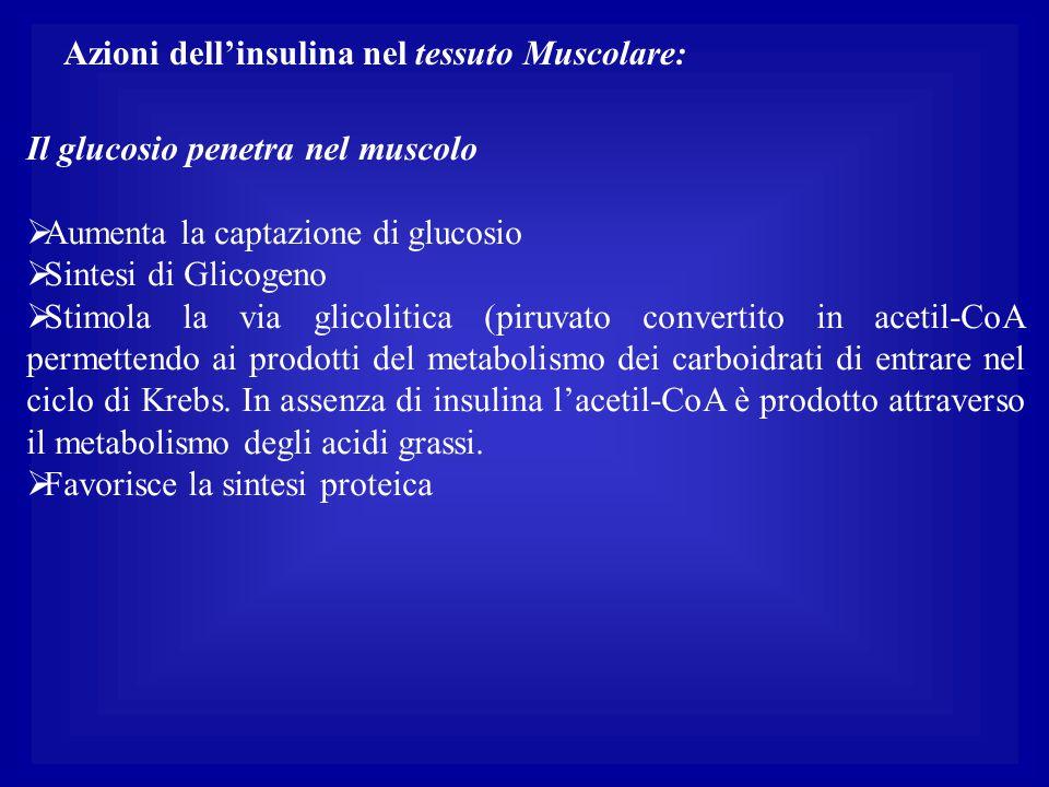 Azioni dell'insulina nel tessuto Muscolare: Il glucosio penetra nel muscolo  Aumenta la captazione di glucosio  Sintesi di Glicogeno  Stimola la vi