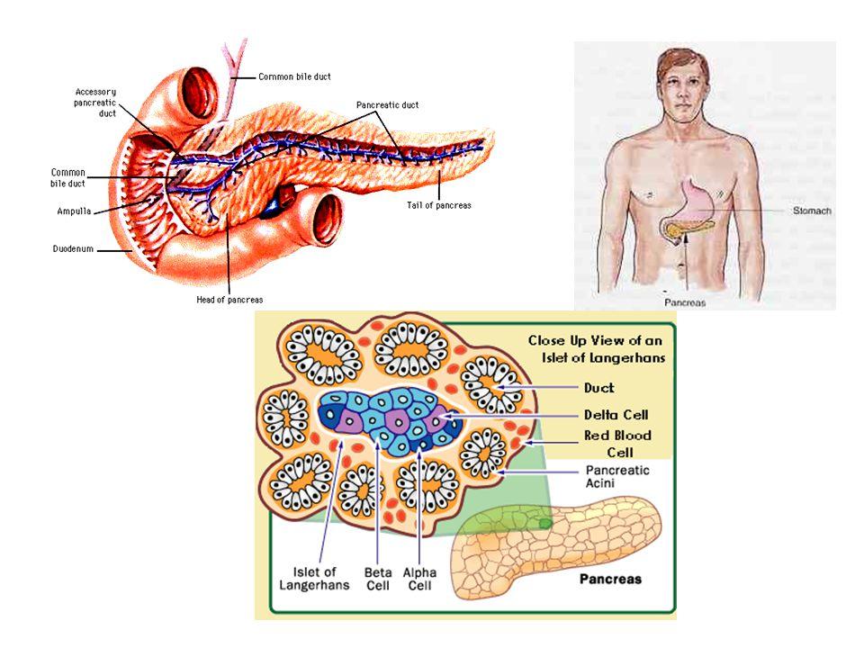 Effetti metabolici:  Fegato  Tessuto adiposo  Tessuto muscolare L'insulina è in grado attraverso meccanismi di defosforilazione/fosforilazione, di regolare l'attivazione o l'inibizione di enzimi coinvolti nelle diverse vie metaboliche.