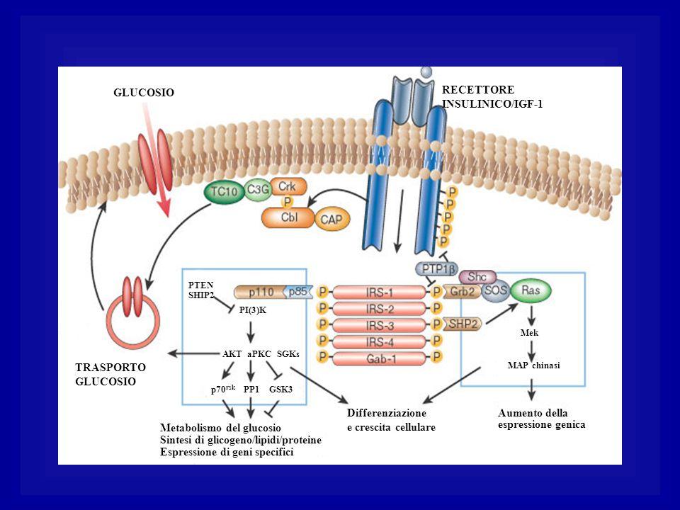 GLUCOSIO TRASPORTOGLUCOSIO PI(3)K AKT aPKC SGKs p70 rsk PP1 GSK3 Metabolismo del glucosio Sintesi di glicogeno/lipidi/proteine Espressione di geni spe