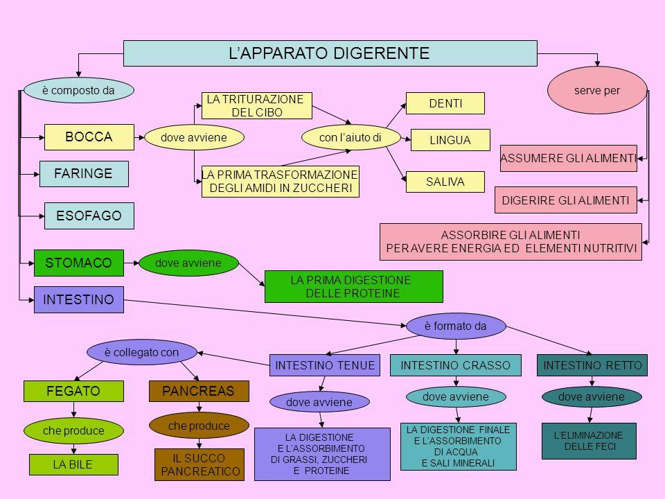 L'APPARATO DIGERENTE è composto da BOCCA FARINGE ESOFAGO STOMACO INTESTINO dove avviene è collegato con è formato da con l'aiuto di dove avviene LA TRITURAZIONE DEL CIBO LA PRIMA TRASFORMAZIONE DEGLI AMIDI IN ZUCCHERI DENTI serve per LINGUA SALIVA ASSUMERE GLI ALIMENTI DIGERIRE GLI ALIMENTI ASSORBIRE GLI ALIMENTI PER AVERE ENERGIA ED ELEMENTI NUTRITIVI LA PRIMA DIGESTIONE DELLE PROTEINE FEGATOPANCREAS che produce LA BILE IL SUCCO PANCREATICO INTESTINO TENUEINTESTINO CRASSOINTESTINO RETTO dove avviene LA DIGESTIONE E L'ASSORBIMENTO DI GRASSI, ZUCCHERI E PROTEINE L'ELIMINAZIONE DELLE FECI LA DIGESTIONE FINALE E L'ASSORBIMENTO DI ACQUA E SALI MINERALI