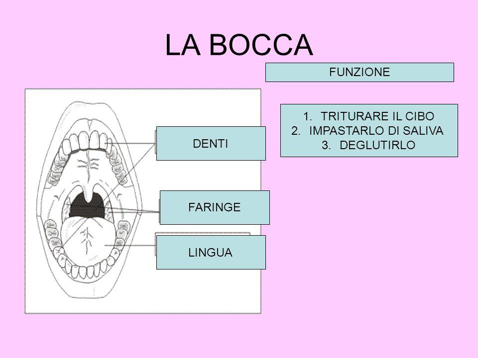 LA BOCCA DENTI FARINGE LINGUA FUNZIONE 1.TRITURARE IL CIBO 2.IMPASTARLO DI SALIVA 3.DEGLUTIRLO