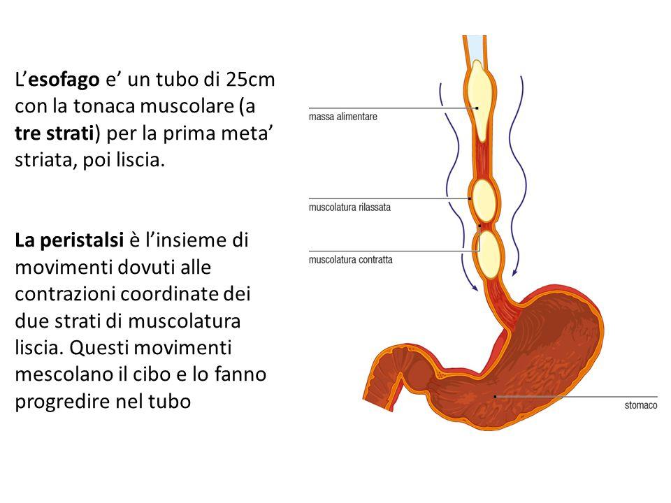 L'esofago e' un tubo di 25cm con la tonaca muscolare (a tre strati) per la prima meta' striata, poi liscia. La peristalsi è l'insieme di movimenti dov
