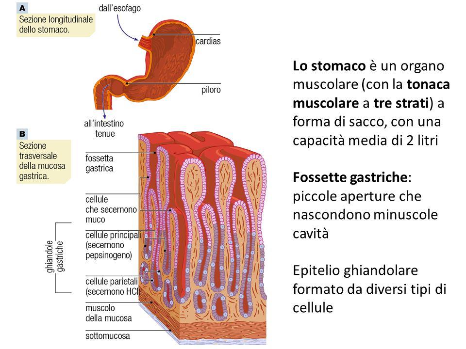 Lo stomaco è un organo muscolare (con la tonaca muscolare a tre strati) a forma di sacco, con una capacità media di 2 litri Fossette gastriche: piccol