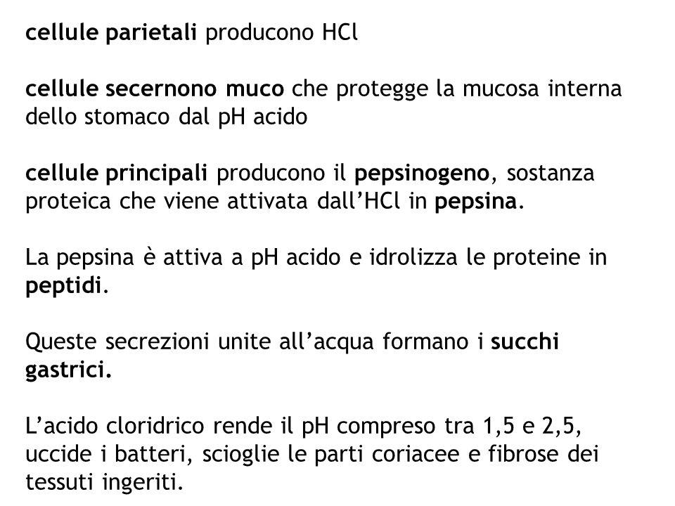 cellule parietali producono HCl cellule secernono muco che protegge la mucosa interna dello stomaco dal pH acido cellule principali producono il pepsi