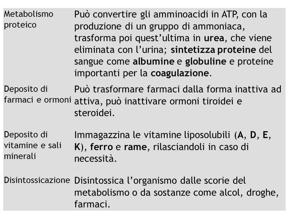 Metabolismo proteico Può convertire gli amminoacidi in ATP, con la produzione di un gruppo di ammoniaca, trasforma poi quest'ultima in urea, che viene