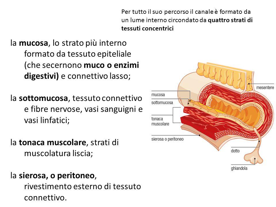 la mucosa, lo strato più interno formato da tessuto epiteliale (che secernono muco o enzimi digestivi) e connettivo lasso; la sottomucosa, tessuto con
