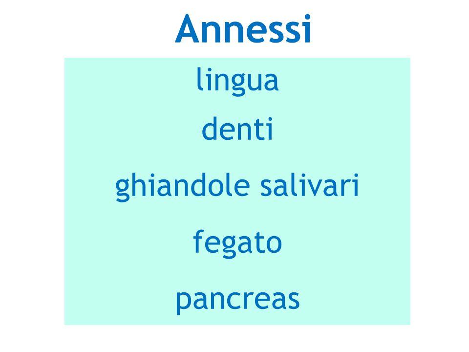 lingua denti ghiandole salivari fegato pancreas Annessi
