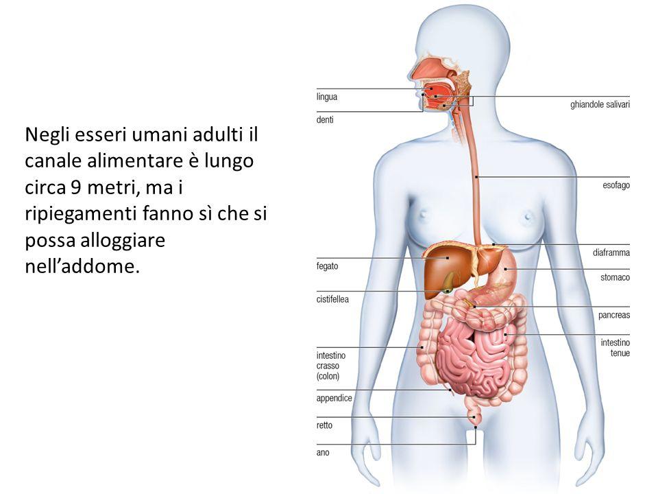 Negli esseri umani adulti il canale alimentare è lungo circa 9 metri, ma i ripiegamenti fanno sì che si possa alloggiare nell'addome.
