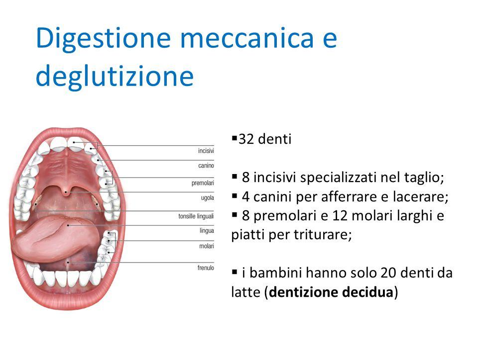 Digestione meccanica e deglutizione  32 denti  8 incisivi specializzati nel taglio;  4 canini per afferrare e lacerare;  8 premolari e 12 molari l