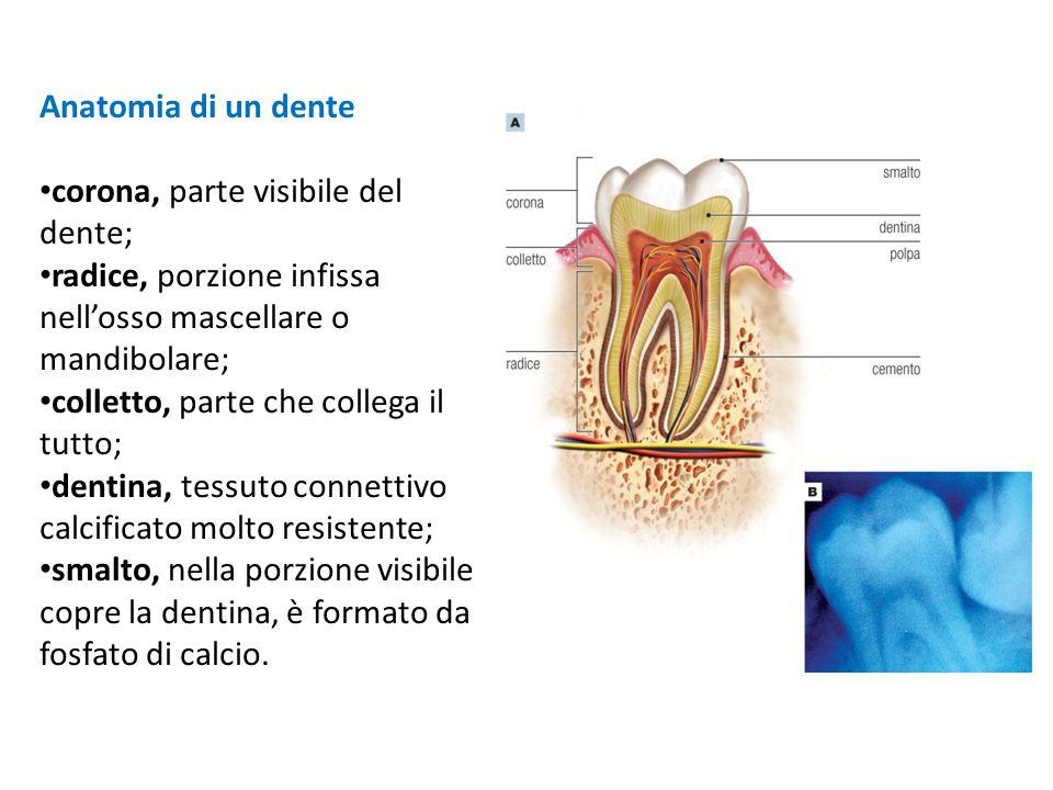 Anatomia di un dente corona, parte visibile del dente; radice, porzione infissa nell'osso mascellare o mandibolare; colletto, parte che collega il tut