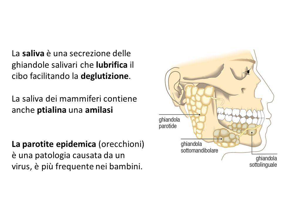 La saliva è una secrezione delle ghiandole salivari che lubrifica il cibo facilitando la deglutizione. La saliva dei mammiferi contiene anche ptialina
