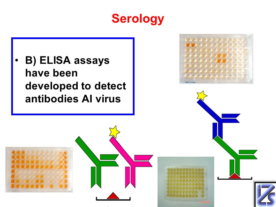 Serology B) ELISA assays have been developed to detect antibodies AI virus