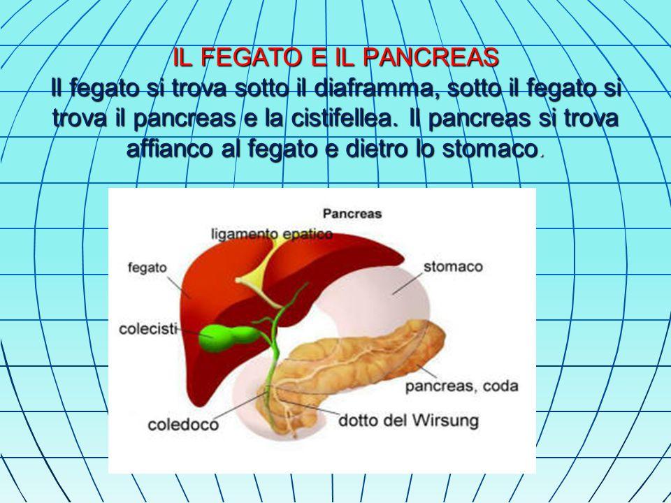 IL FEGATO E IL PANCREAS Il fegato si trova sotto il diaframma, sotto il fegato si trova il pancreas e la cistifellea.