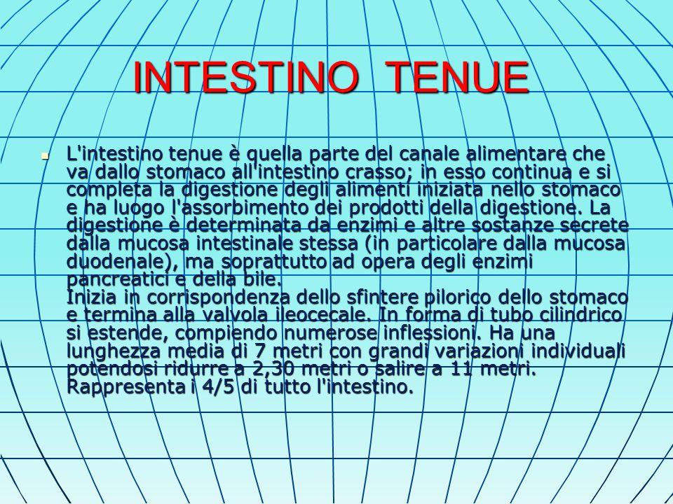 INTESTINO TENUE L intestino tenue è quella parte del canale alimentare che va dallo stomaco all intestino crasso; in esso continua e si completa la digestione degli alimenti iniziata nello stomaco e ha luogo l assorbimento dei prodotti della digestione.
