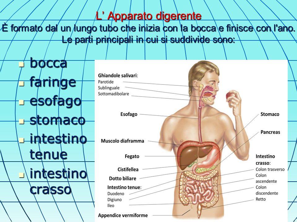L' Apparato digerente È formato dal un lungo tubo che inizia con la bocca e finisce con l ano.