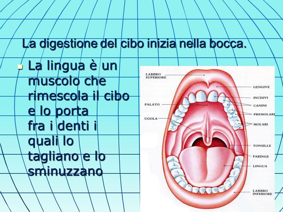 La digestione del cibo inizia nella bocca.