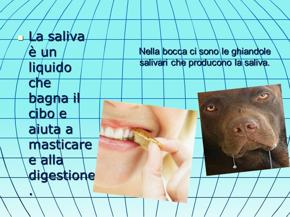 Nella bocca ci sono le ghiandole salivari che producono la saliva.