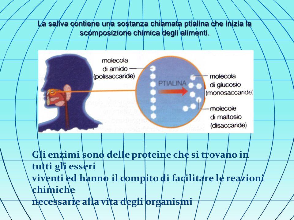 La saliva contiene una sostanza chiamata ptialina che inizia la scomposizione chimica degli alimenti.