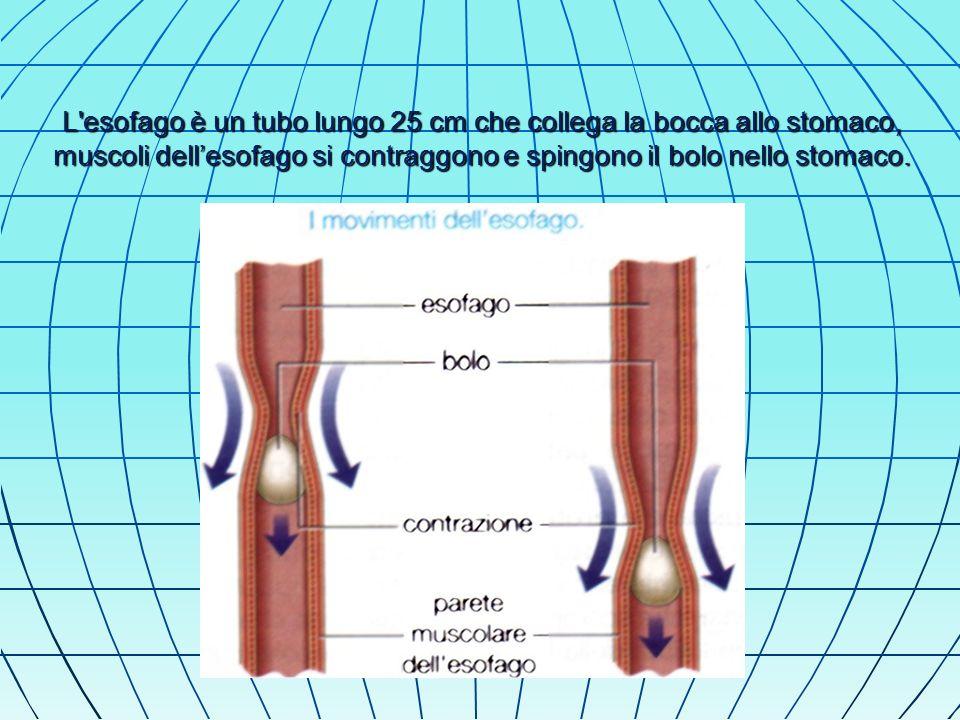 L esofago è un tubo lungo 25 cm che collega la bocca allo stomaco, muscoli dell'esofago si contraggono e spingono il bolo nello stomaco.