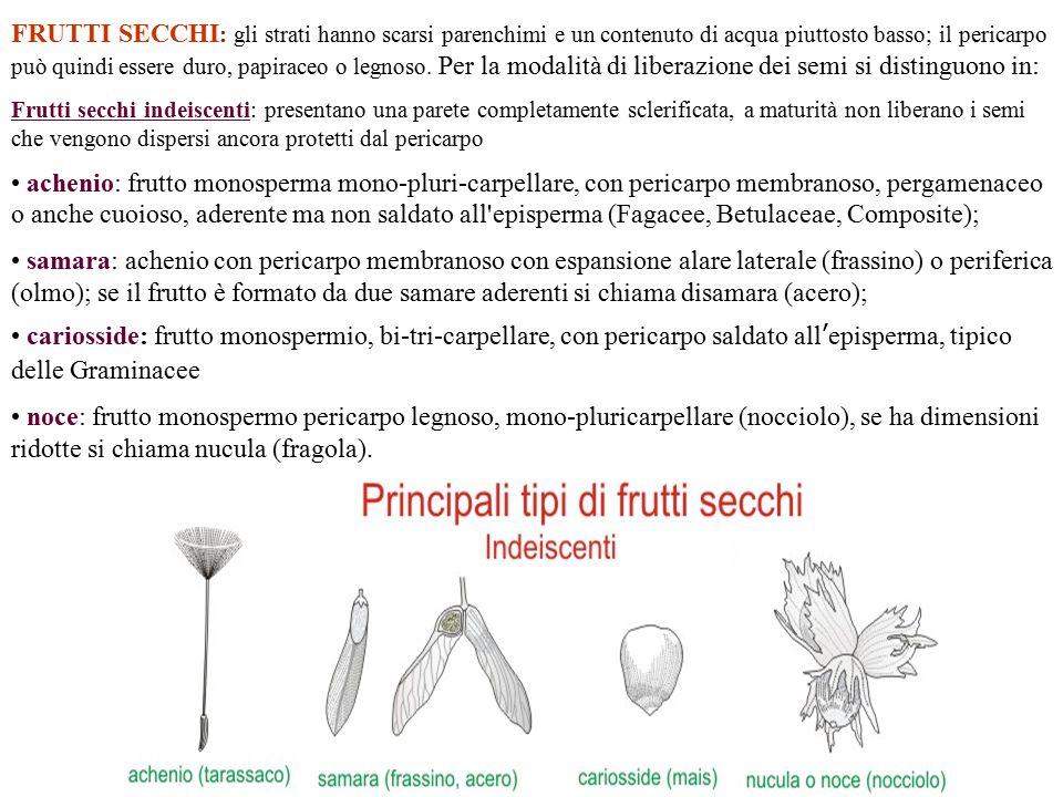 Frutti secchi indeiscenti Samara noce cariosside Achenio