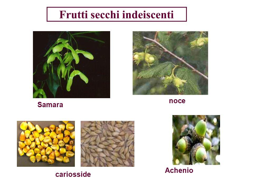 Le principali sostanze di riserva dei semi Le riserve di un seme possono essere contenute nel perisperma, nell ' endosperma o nei cotiledoni che in questo caso sono grossi e carnosi.