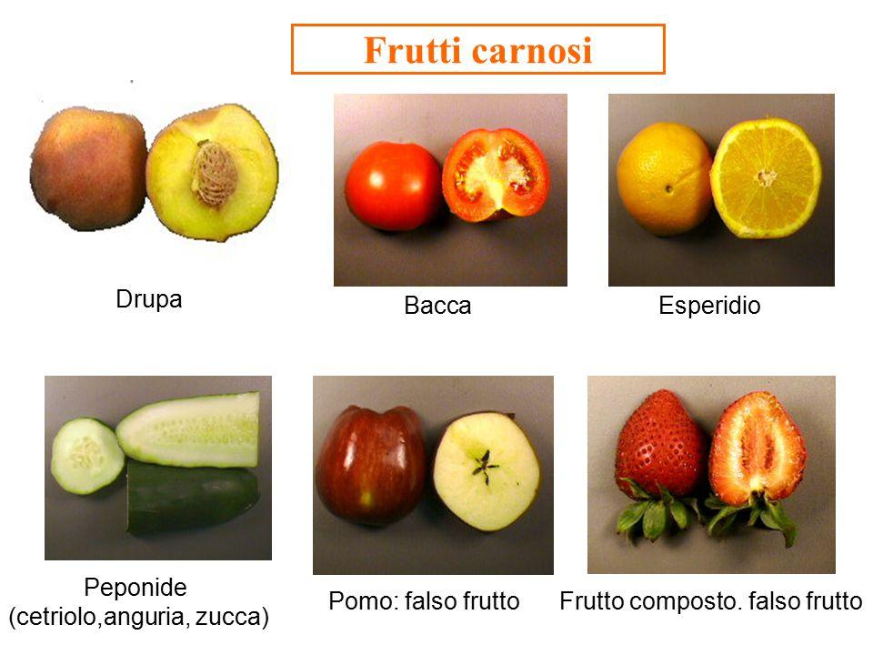 FRUTTI FALSI: derivano dalla trasformazione dell ' ovario insieme ad altri elementi fiorali (principalmente il ricettacolo) Pomo: tipico di molte rosacee, quali la mela, la pera.