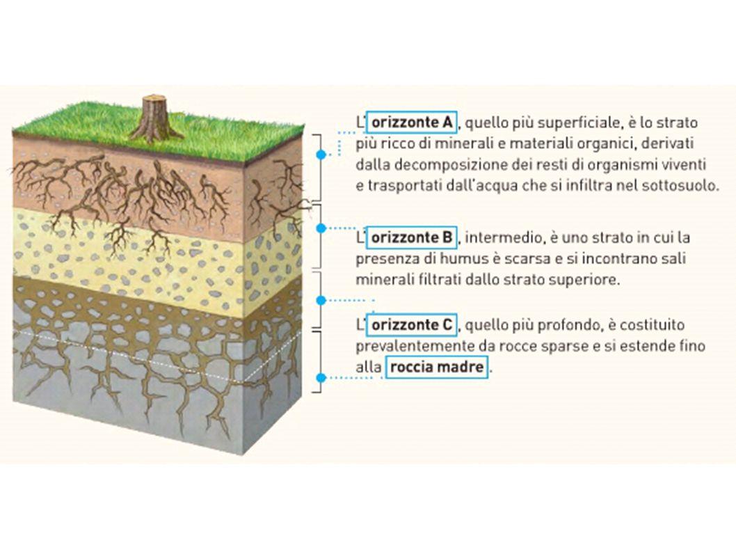 Al di sotto dello strato più esterno del suolo, vi sono altri strati fondamentali detti ORIZZONTI: - orizzonte A: strato superficiale ricco di minerali e materiali organici (humus); - orizzonte B: scarsa presenza di humus e presenza di minerali filtrati dallo strato superiore; è ricco di limo e argilla - orizzonte C: strato più profondo costituito da rocce sparse e si estende fino alla roccia madre; è ricco di sabbia e ghiaia - orizzonte D: roccia madre priva di forme viventi