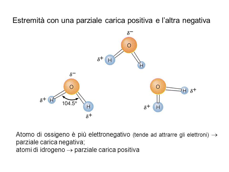Atomo di ossigeno è più elettronegativo (tende ad attrarre gli elettroni)  parziale carica negativa; atomi di idrogeno  parziale carica positiva Est