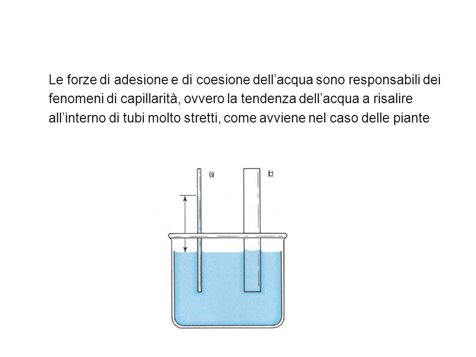 Le forze di adesione e di coesione dell'acqua sono responsabili dei fenomeni di capillarità, ovvero la tendenza dell'acqua a risalire all'interno di t