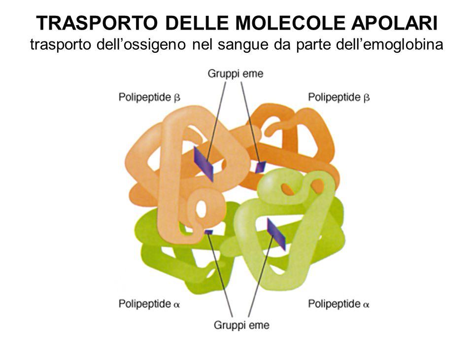 TRASPORTO DELLE MOLECOLE APOLARI trasporto dell'ossigeno nel sangue da parte dell'emoglobina