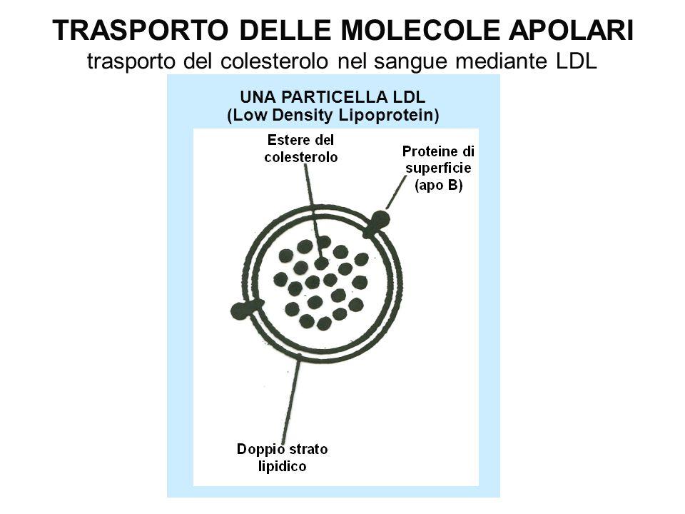 UNA PARTICELLA LDL (Low Density Lipoprotein) TRASPORTO DELLE MOLECOLE APOLARI trasporto del colesterolo nel sangue mediante LDL