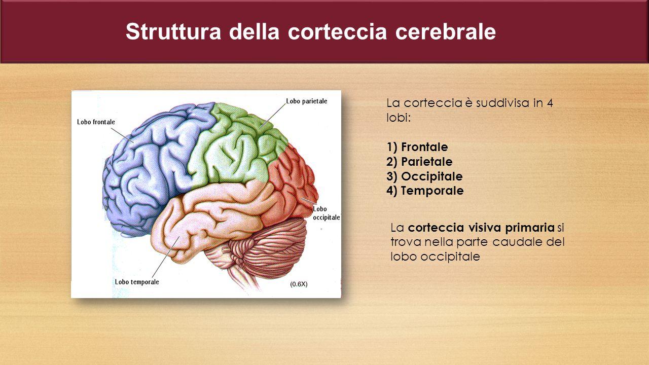 La corteccia è suddivisa in 4 lobi: 1) Frontale 2) Parietale 3) Occipitale 4) Temporale La corteccia visiva primaria si trova nella parte caudale del lobo occipitale Struttura della corteccia cerebrale