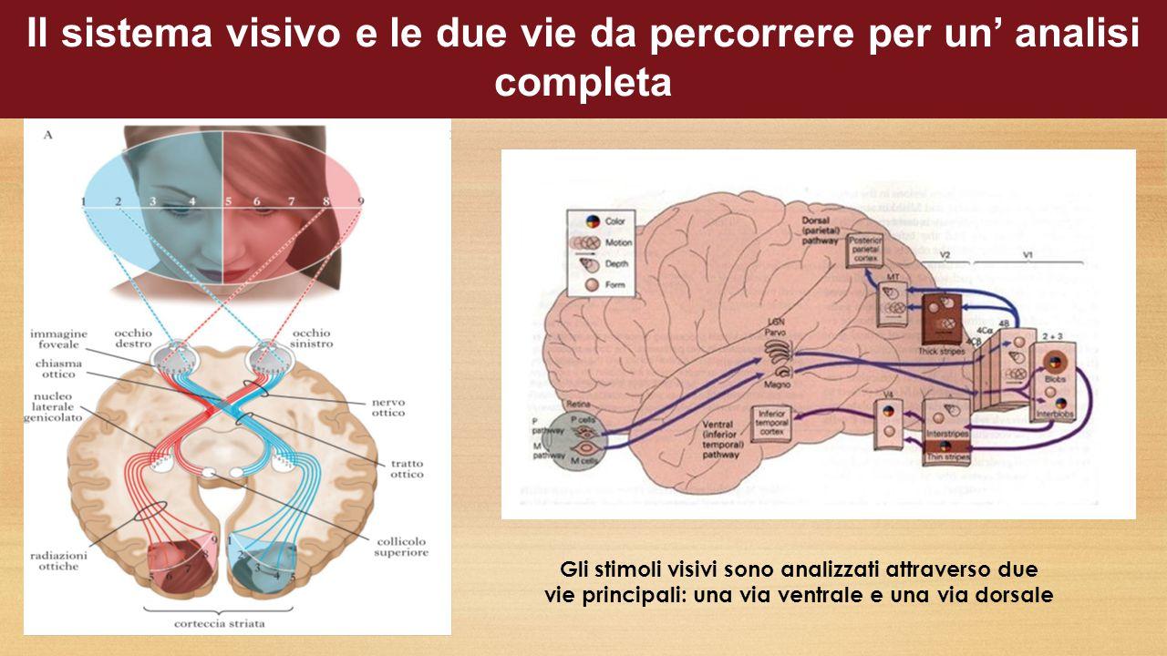 Il sistema visivo e le due vie da percorrere per un' analisi completa Gli stimoli visivi sono analizzati attraverso due vie principali: una via ventrale e una via dorsale