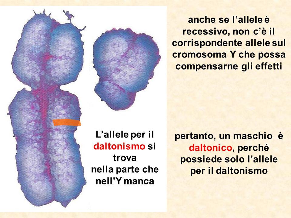 anche se l'allele è recessivo, non c'è il corrispondente allele sul cromosoma Y che possa compensarne gli effetti pertanto, un maschio è daltonico, pe