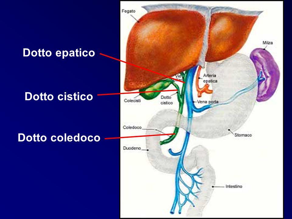 STRUTTURA SCHEMATICA DI LOBULO EPATICO vena centrolobulare triade portale