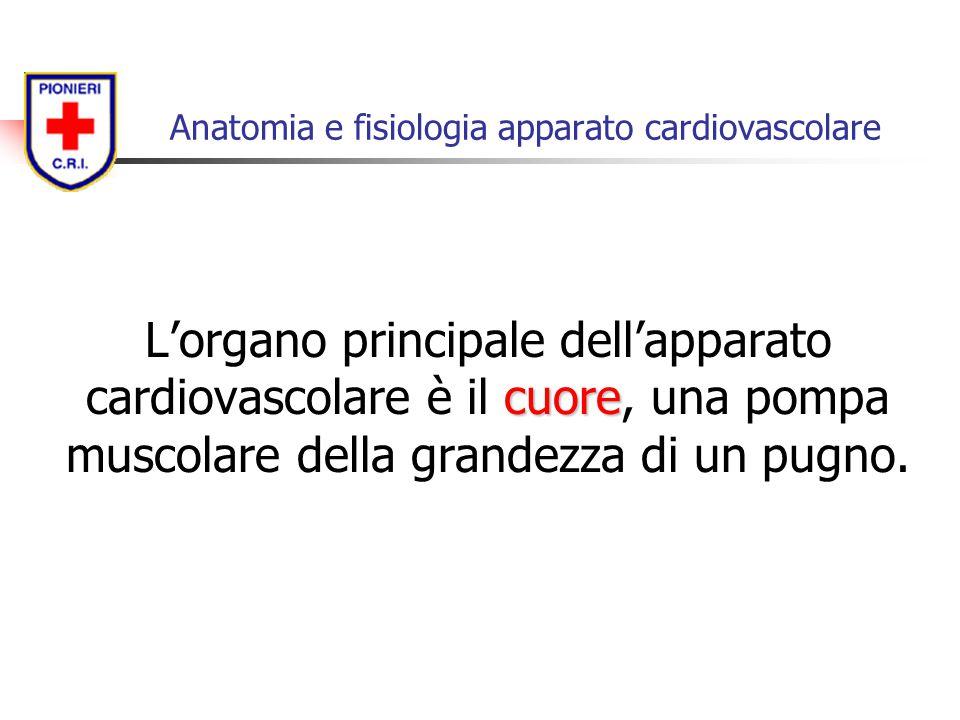 cuore L'organo principale dell'apparato cardiovascolare è il cuore, una pompa muscolare della grandezza di un pugno. Anatomia e fisiologia apparato ca