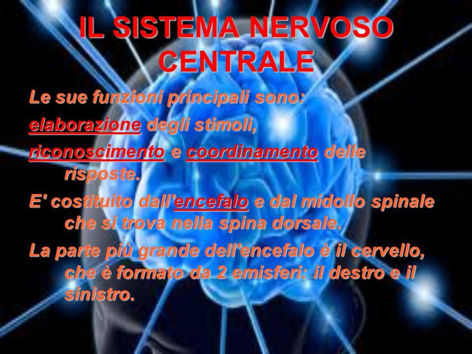 IL SISTEMA NERVOSO CENTRALE Le sue funzioni principali sono: elaborazione degli stimoli, riconoscimento e coordinamento delle risposte. E' costituito