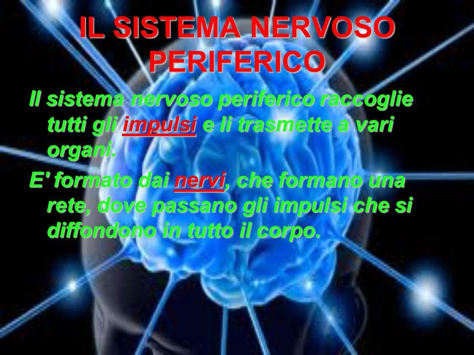 IL SISTEMA NERVOSO PERIFERICO Il sistema nervoso periferico raccoglie tutti gli impulsi e li trasmette a vari organi. E' formato dai nervi, che forman