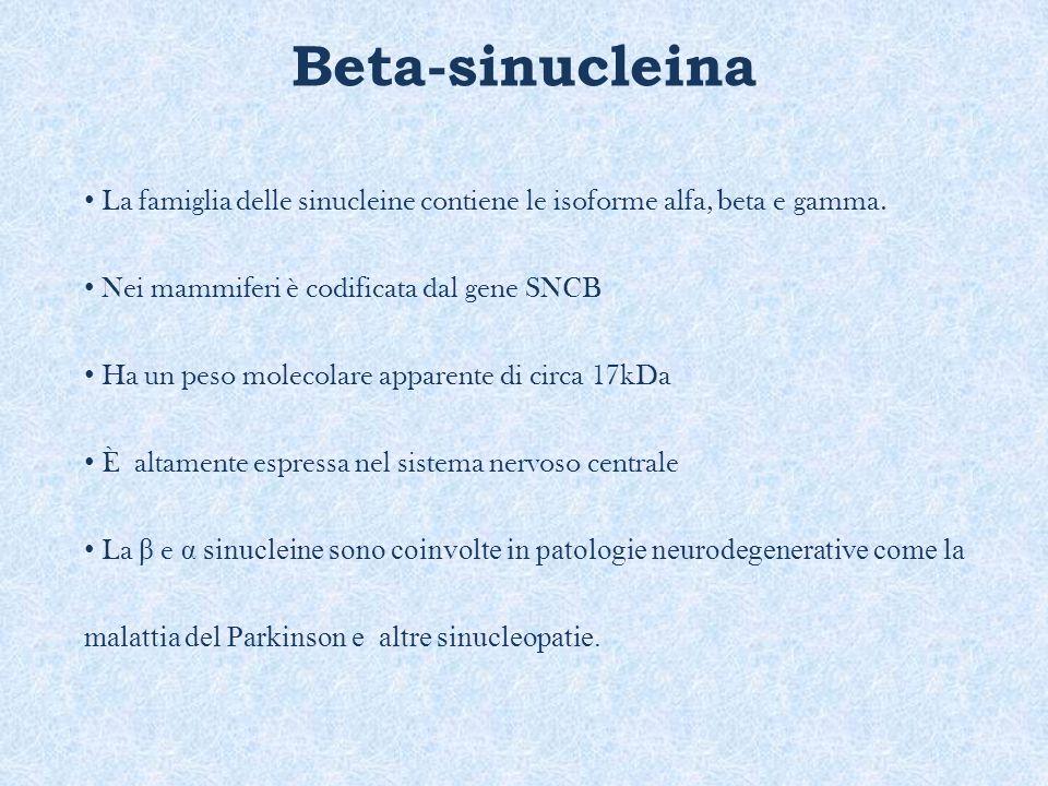 Beta-sinucleina La famiglia delle sinucleine contiene le isoforme alfa, beta e gamma. Nei mammiferi è codificata dal gene SNCB Ha un peso molecolare a
