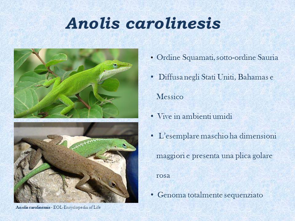 Anolis carolinesis Ordine Squamati, sotto-ordine Sauria Diffusa negli Stati Uniti, Bahamas e Messico Vive in ambienti umidi L'esemplare maschio ha dim