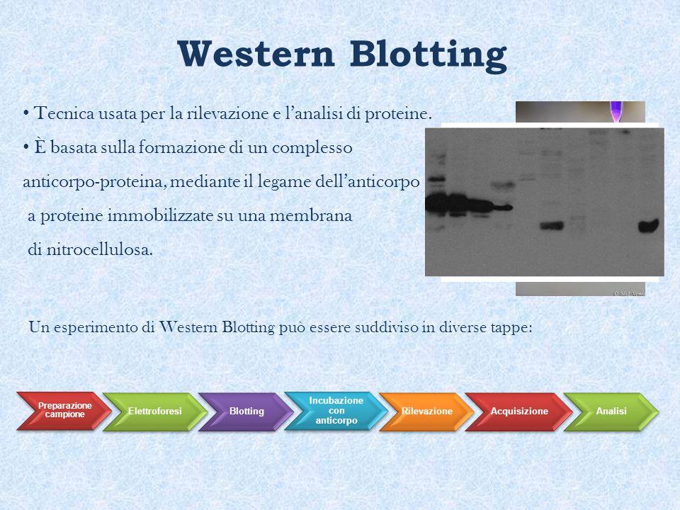 Western Blotting Tecnica usata per la rilevazione e l'analisi di proteine. È basata sulla formazione di un complesso anticorpo-proteina, mediante il l