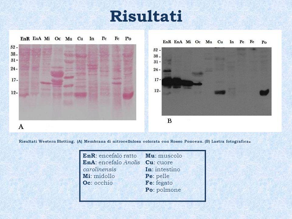 Risultati Risultati Western Blotting. (A) Membrana di nitrocellulosa colorata con Rosso Ponceau. (B) Lastra fotografica. EnR : encefalo ratto EnA : en