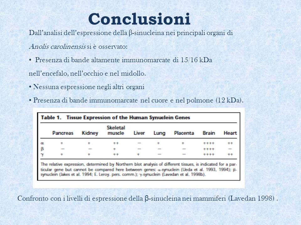 Conclusioni Dall'analisi dell'espressione della β -sinucleina nei principali organi di Anolis carolinensis si è osservato: Presenza di bande altamente
